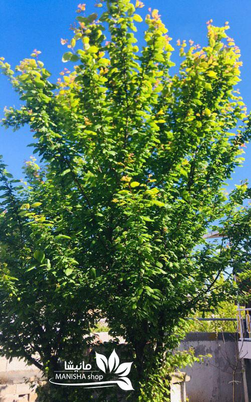 درخت گوجه سبز - درخت آلوچه